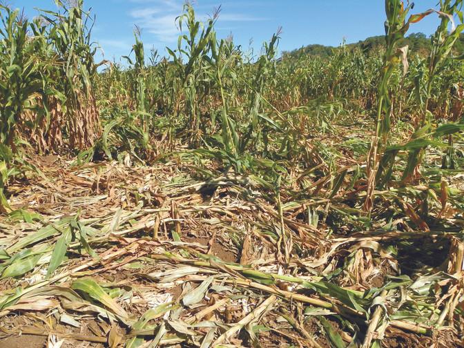 Javalis vem causando prejuízos nos Campos Gerais