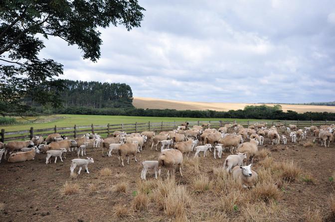 Cooperativa de ovinos Coopergera é inaugurada nos Campos Gerais