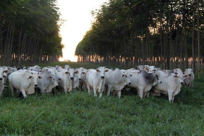 Sistema silvipastoril - ganho tanto para os animais como para floresta