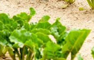 Sugar Beet Farming