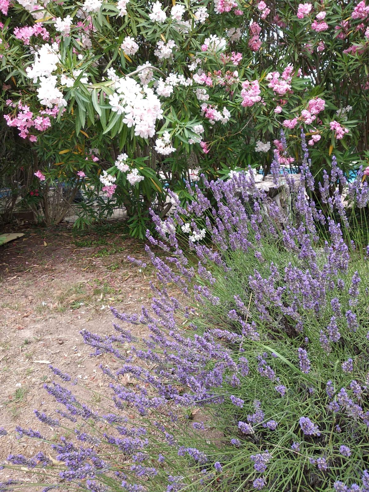 lavandes du jardin