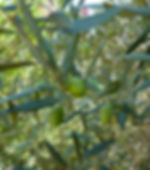 olivier du jardin