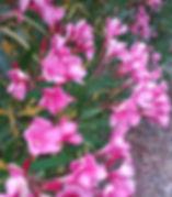 laurier rose du jardin