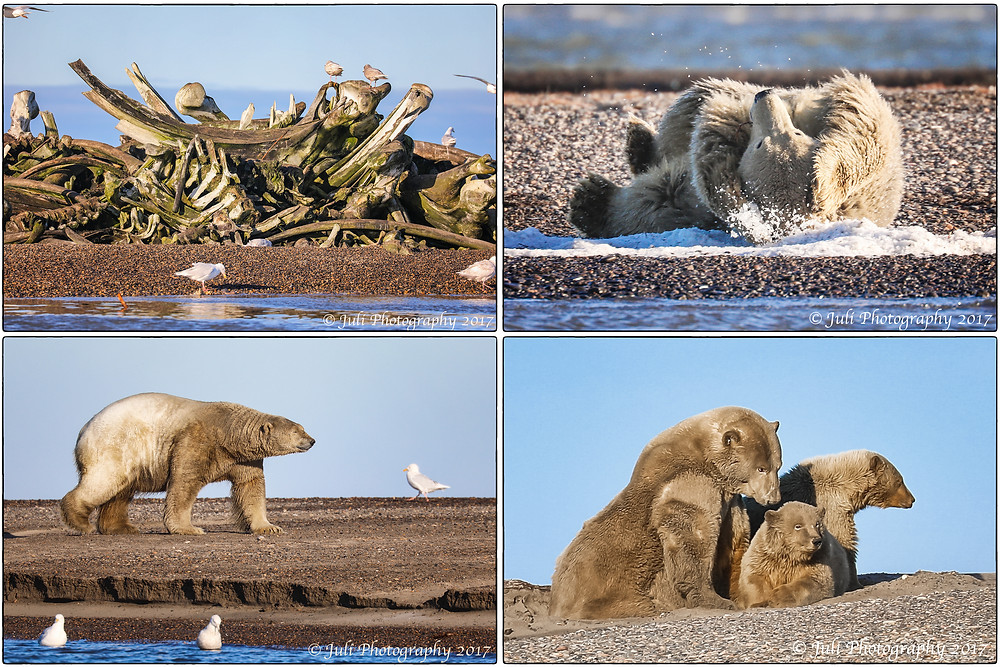Polar Bears In Kaktovik