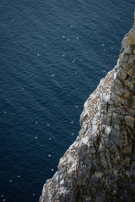A lot of birds on cliff on Runde