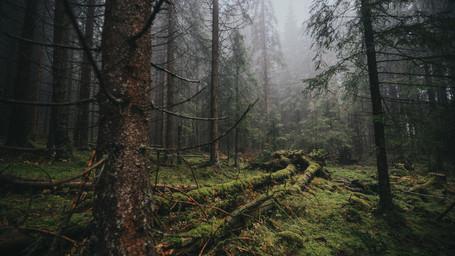 Dark forest in Norway