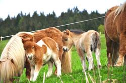 Pony Fohlen am Zieplhof in Westendorf
