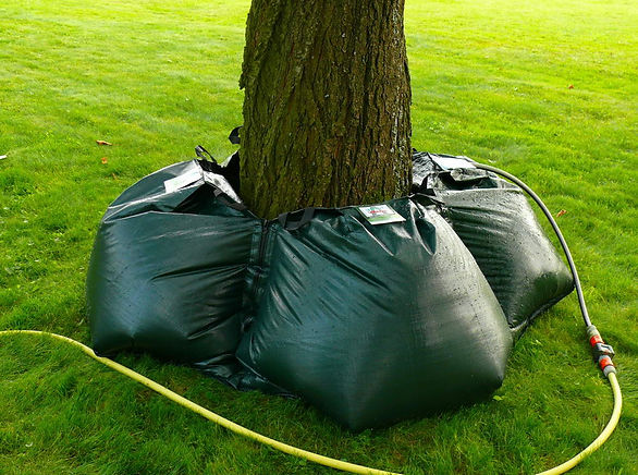 Never water any large trees like this. Never place watering bag by trunk base.