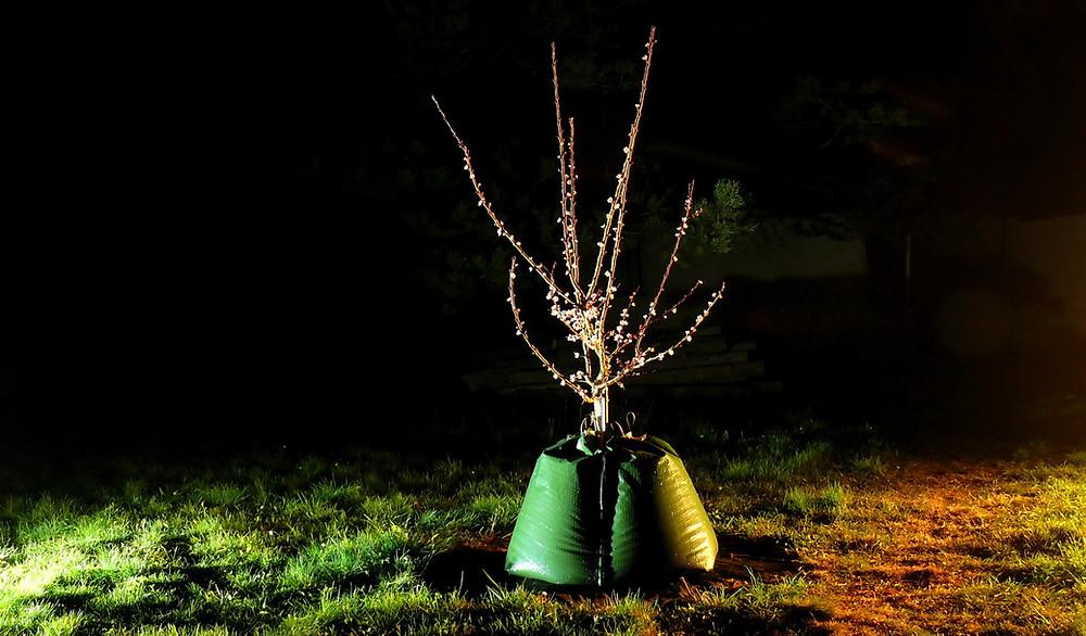 Zavlažovací vak Treegator Original Double zavlažuje ovocné stromy - meruňka intenzivně kvete již třetí sezónu po výsadbě