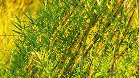 Vrbové týpí - týpí z živé vrby