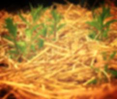 Výsadba břehového porostu - stabilizace břehů výsadbou vrbových porostů