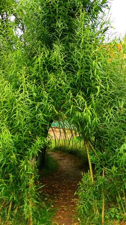 Vrbové teepee z živé vrby v červnu