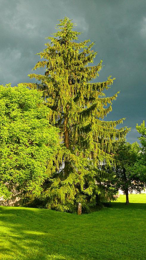 Spruce-storm-water-w.jpg
