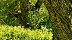 Hlavové vrby v břehovém porostu