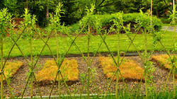 Živý plot z vrby - vrbový plot