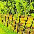 Vrbový plot z živé vrby