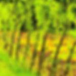 Vrbový živý plot