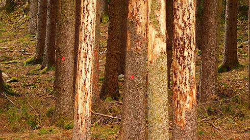 spruce-beatle.jpg