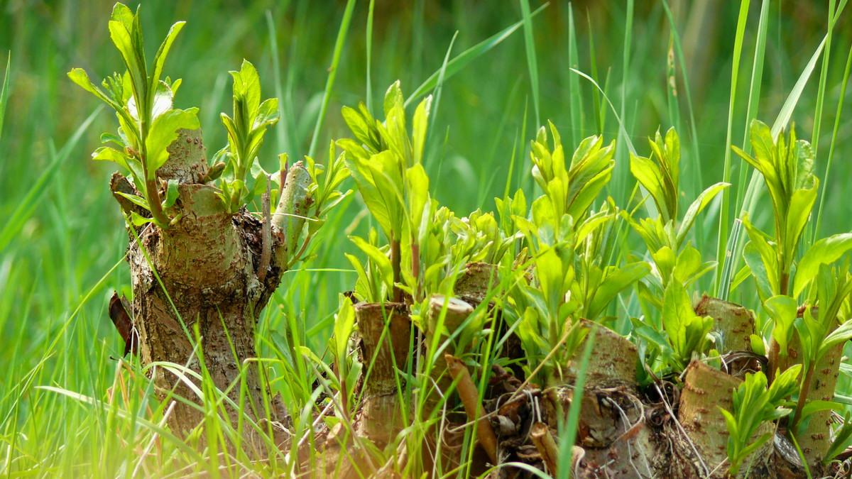 Vrba na plantáži
