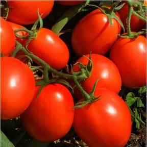طماطم اسبين
