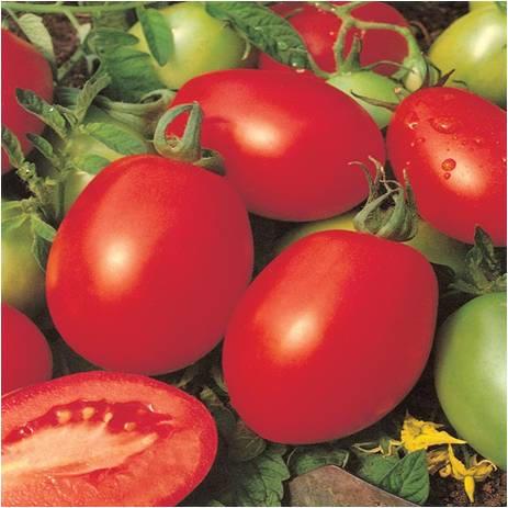 طماطم شيروكى