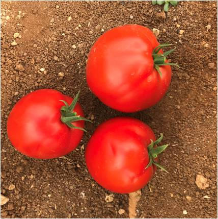 طماطم ايفا