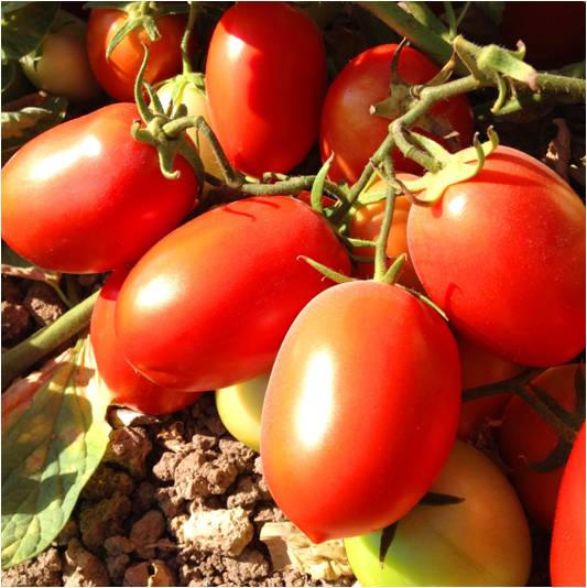 الطماطم 428