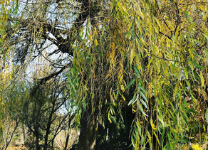 Survival Plant 3: Willow Medicine