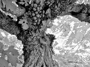 The significance of own-rooted old vines in Lodi