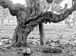 Old vine plantings going into Lodi's best known vineyard-designate wines