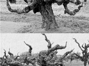 Is it time for a Lodi Ancient Vine Accord?