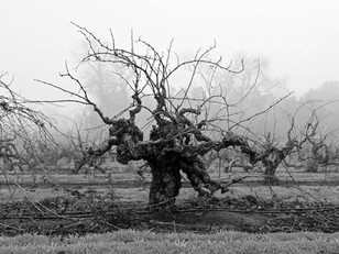 """""""Save the Old Vines"""" Marketing campaign highlights Lodi's heritage plantings & old vine wines"""