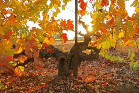 +90-year-old, own-rooted Zinfandel in Lodi's Clements Hills AVA