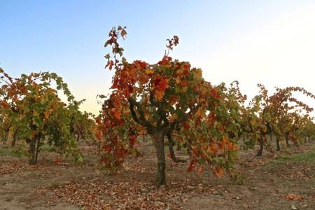 Gobelet trained (i.e. head trained, spur pruned) Zinfandel on Mokelumne River-Lodi's west side