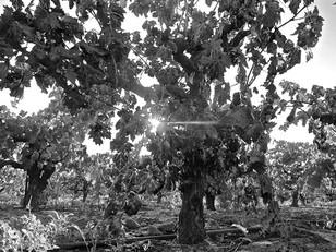Saving Lodi's Historic Vineyard Society-registered vineyards