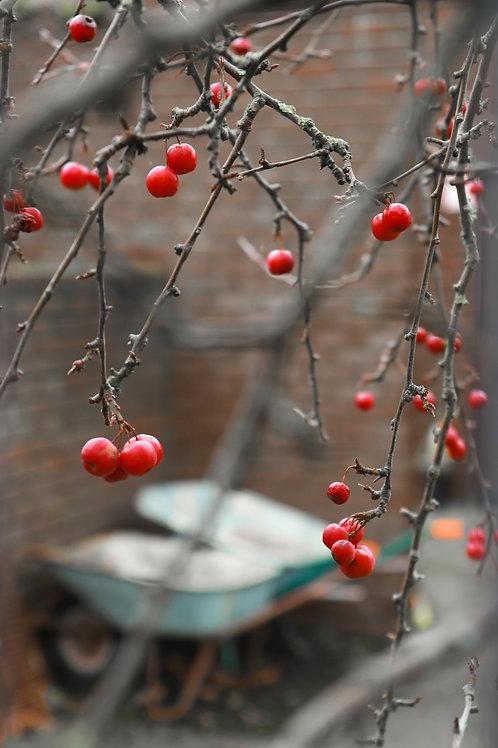 Red Berries, Skerries, 2020