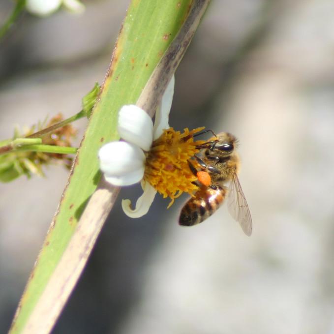 Honeybee on Spanish Needle