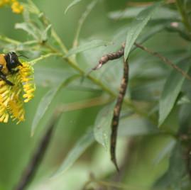 Carpenter Bee on Goldenrod