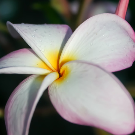 Plumeria 'Vera Cruz Rose'