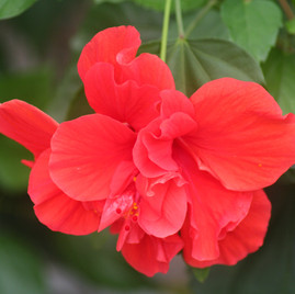 Double Red Hibiscus