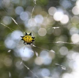Spinybacked Orb Weaver Spider