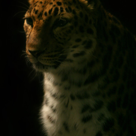The Lonely Leopard