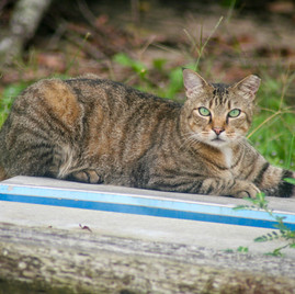 Tabby Cat by the River
