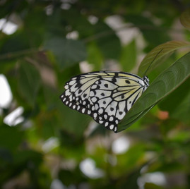 Mangrove Tree Nymph Butterfly