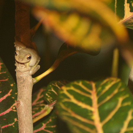 Tree Frog in the Crotons at Night
