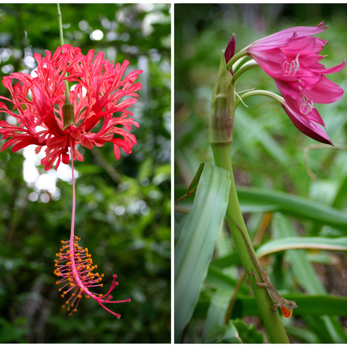 Spider Hibiscus & Crinum Lily with Brown Anole Lizard