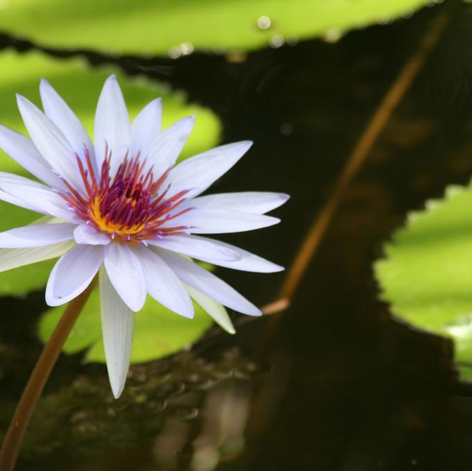 Nymphaea 'Mintara' Tropical Waterlily