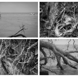 Hurricane Damaged Trees in Mobile Bay