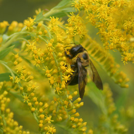 Carpenter Bee on Goldendrod