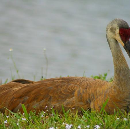 Sandhill Crane Resting